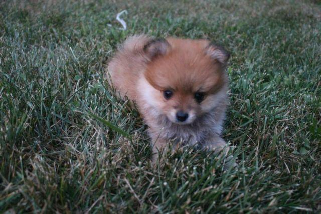 Cute Pomeranian Puppies for Adoption - 11 Weeks Old for ...