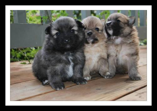 pomeranian rescue oregon cute pomeranian puppies ready for adoption for sale in 7184