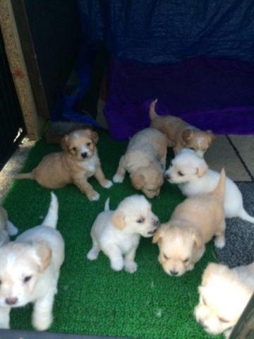 Cute Poodle Puppies For Sale 5 Weeks Old For Sale In Hayward