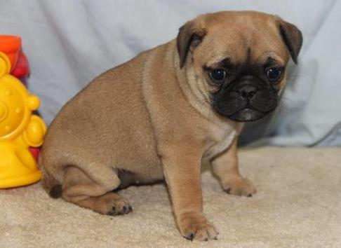 cute pug puppies for good home nhjk for Sale in Pensacola, Florida