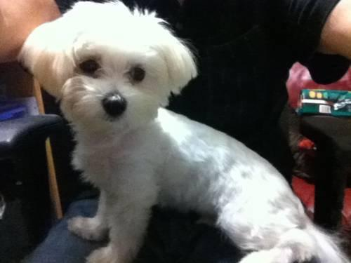 Cute Registered Maltese Puppies for Sale in Fort Worth