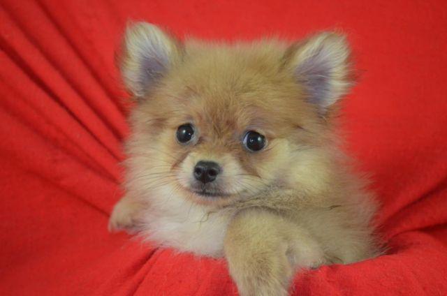 Cute Registered Pomeranian Puppies