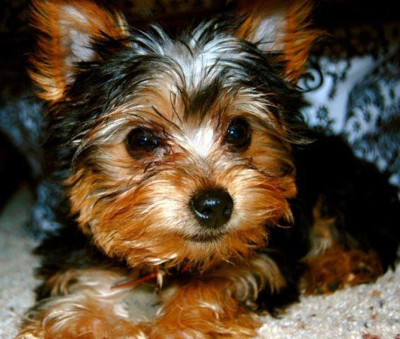 yorkie rescue missouri cute registered yorkie for adoption 19 weeks for sale in 3503