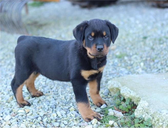 Rottweiler Puppies For Sale In San Antonio Texas Classifieds Buy