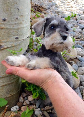 Miniature Schnauzer Puppies Pets And Animals For Sale In The Usa