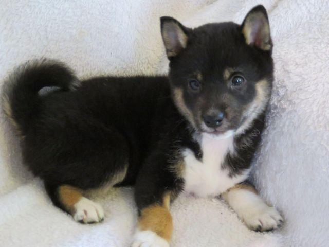 Cute Shib Inu Puppy
