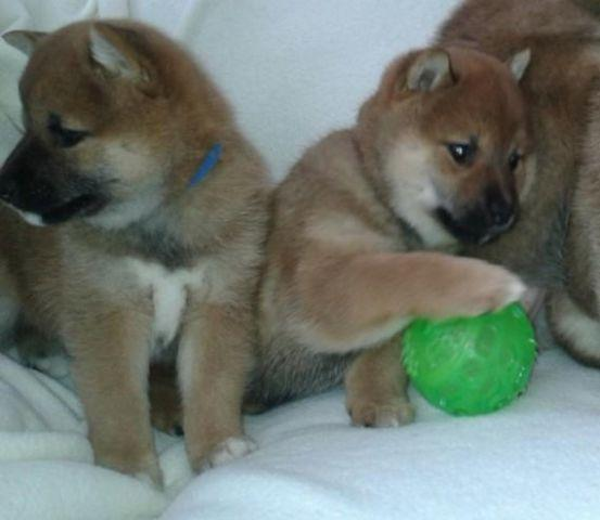 Cute Shiba Inu Puppies For Sale 2 Girls And 2 Boys For Sale In