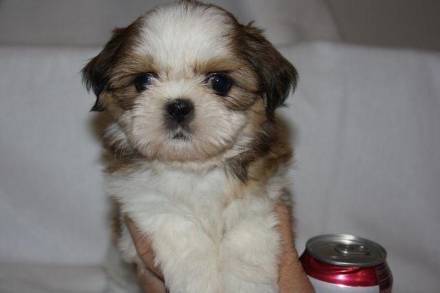 shih tzu puppies for sale in oklahoma cute shih tzu female puppy for sale 8 weeks old for 4080