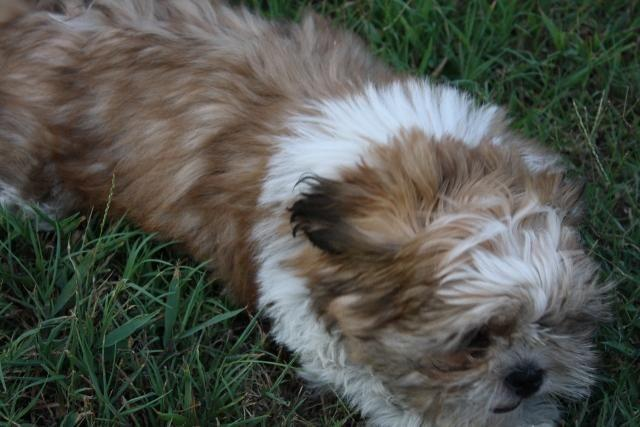 shih tzu puppies for sale in oklahoma cute shih tzu male puppy for sale 13 weeks old for 4192
