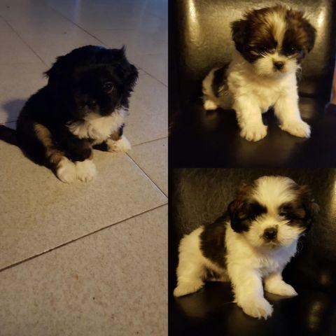 shih tzu puppies 8 weeks cute shih tzu puppies 8 weeks old for sale in elizabeth 566