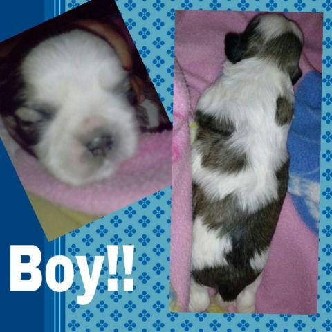 Maltipoo Puppies For Sale In Sacramento California Classifieds