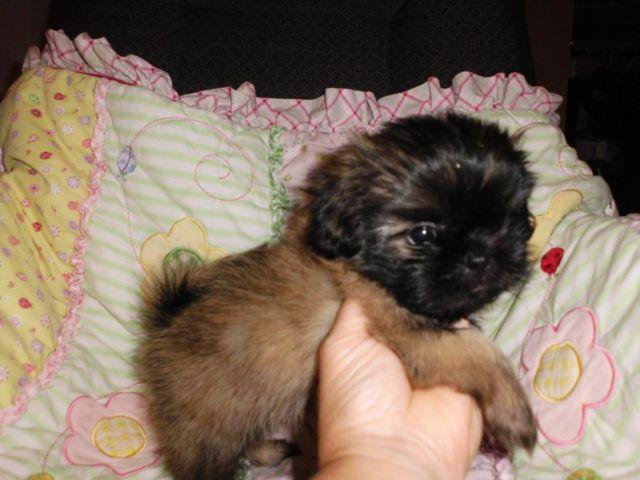 Puppy Shih Tzu Pets And Animals For Sale In Magnolia Kentucky