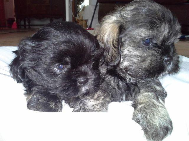 shih tzu rescue sacramento cute shih tzu puppies for adoption 8 wks old for sale in 7052