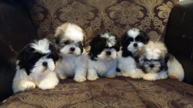 Cute Shih Tzu Puppy 8 Weeks Old For Sale In El Paso Texas