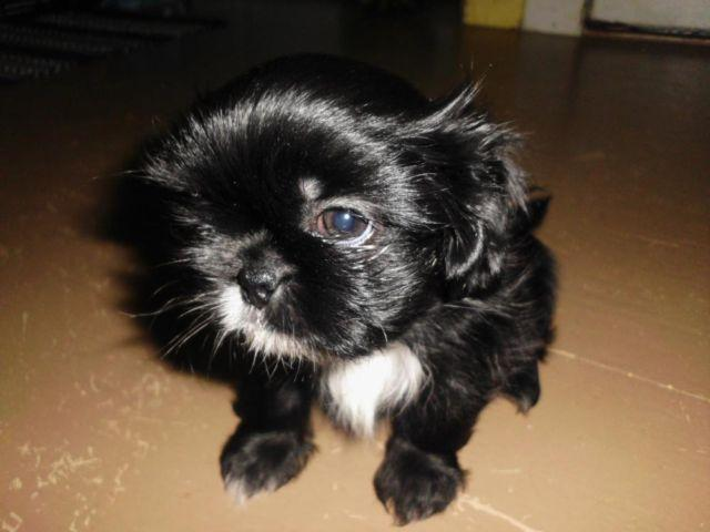 Cute Shih-Tzu Puppy