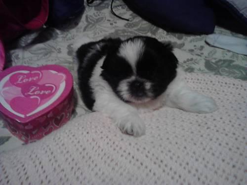 shih tzu puppies for sale oregon cute shih tzu puppy for adoption 4 months old for sale in 8721
