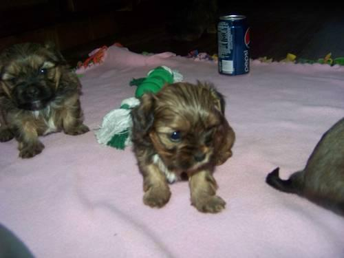 Cute Shorkies for Adoption