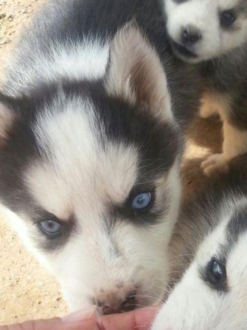 Cute Siberian Husky Puppies For Sale In Yuma Arizona Classified