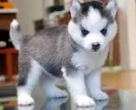 Cute Siberian Husky Puppy Available For Adoption For Sale In