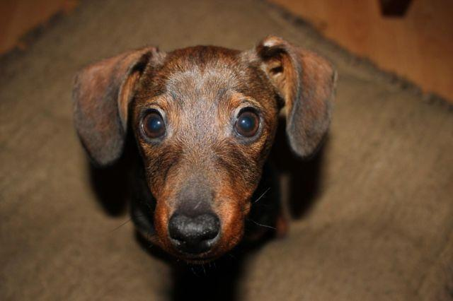 Cute Small-Chiweenie Puppy for Adoption