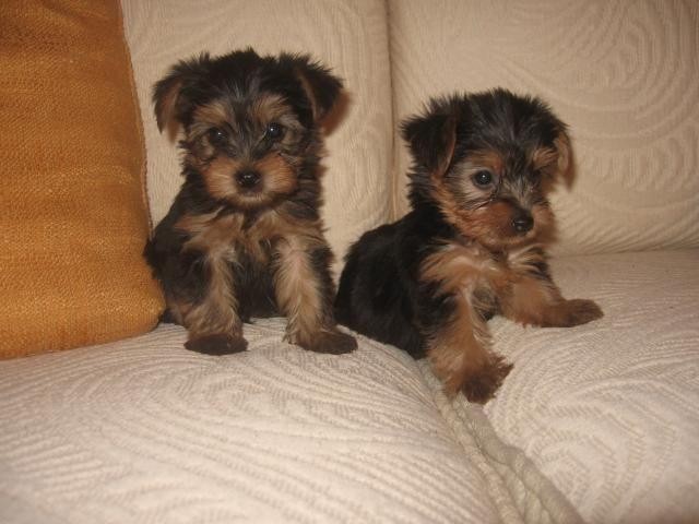 Tea Cup Yorkie Puppies Pets And Animals For Sale In El Paso Texas