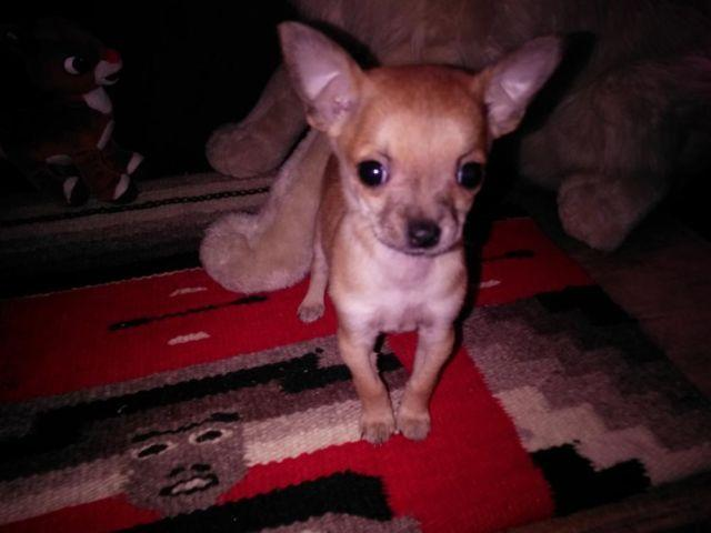 chihuahua rescue ny cute teacup chihuahua puppy for adoption eight weeks old 3422