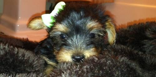 Cute Teacup CKC Yorkie Babies!