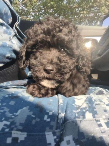 Cute Teacuptoy Poodle For Adoption For Sale In Virginia