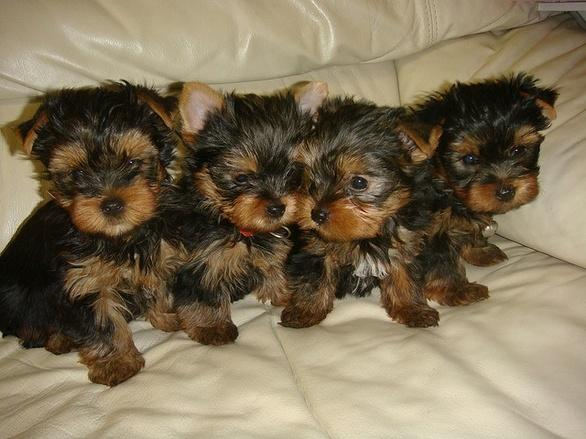 Cute Teacup Yorkie Puppies Available For Sale In Los Angeles