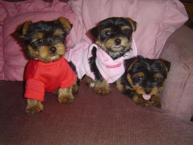 yorkie rescue missouri cute teacup yorkie puppy available for adoption for sale 3898