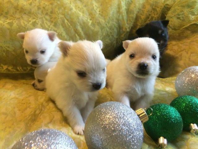 Cute Tiny Female Creamwhite Pomeranian Puppy For Sale In Houston