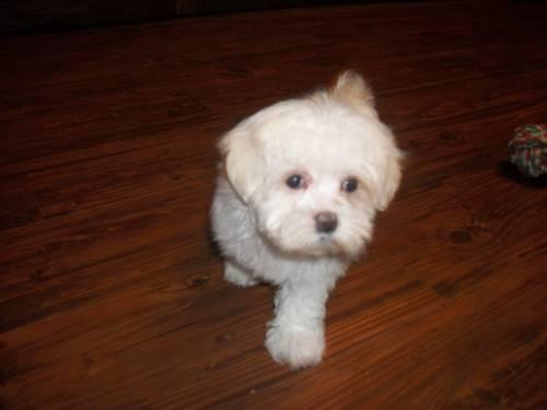 Cute tiny Maltese for sale she will only get to 4 to 5