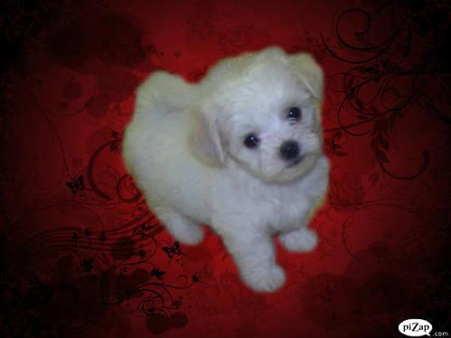Cute tiny maltese puppies female sold only male left.