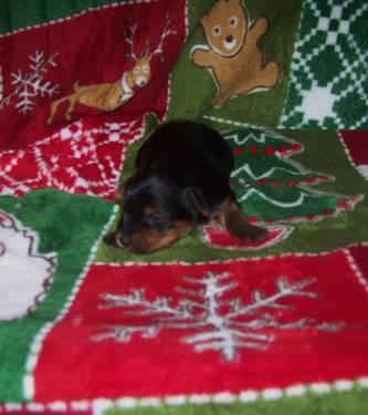 Cute Tiny Pure breed Yorkie for sale