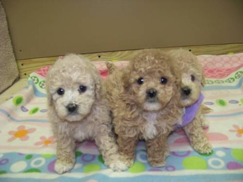 Cute toy poodle / Bichon