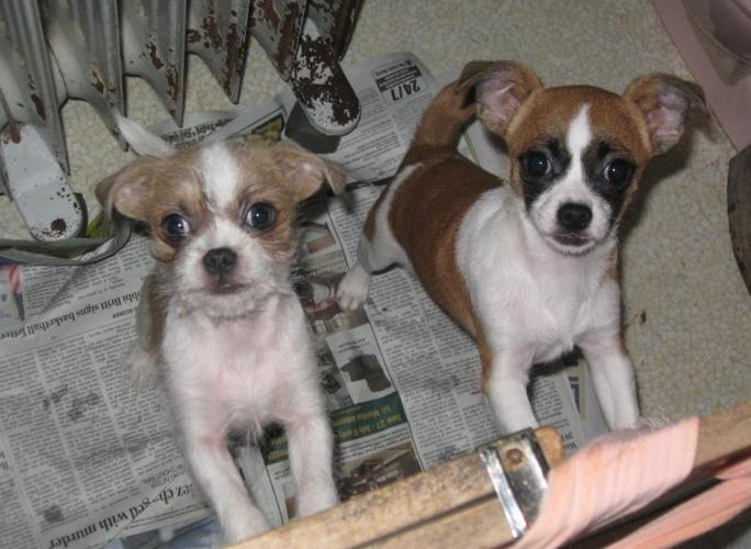 Cute Toy Size 3 5 Lbs Chihuahua Shih Tzu Cross For Sale In Alder