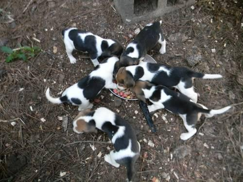 cute tri colored beagle puppies for sale for sale in mount