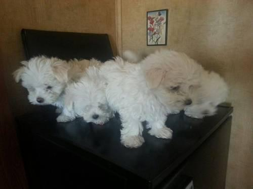 Pitbull Puppies Pets And Animals For Sale In Goldsboro North