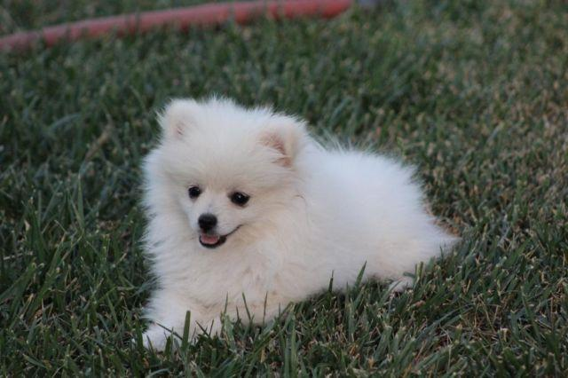Cute White Akc Female Pomeranian Puppies For Sale In Santa Clara