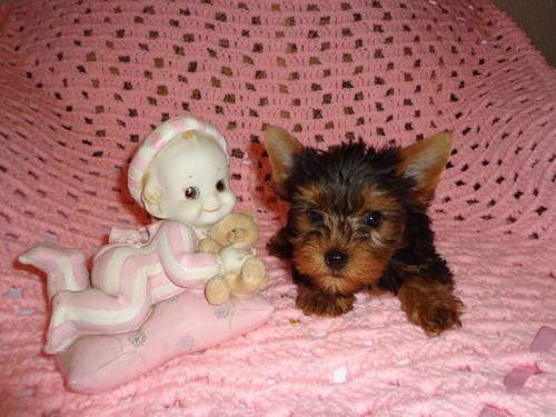 Cute Yorkie minitoy Puppy Female