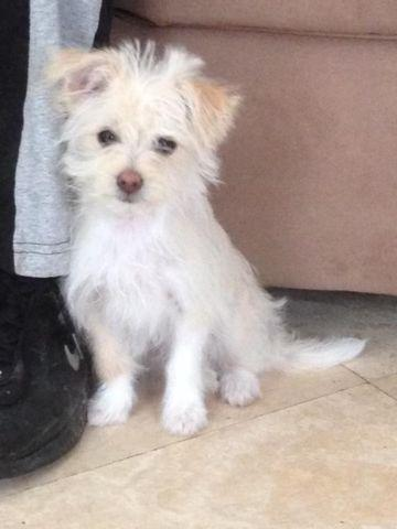 Cute Yorkie Poodle Mix Female 12 Weeks Old For Sale In Stockton