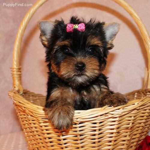 Teacup Yorkie For Sale In Iowa Classifieds Buy And Sell In Iowa