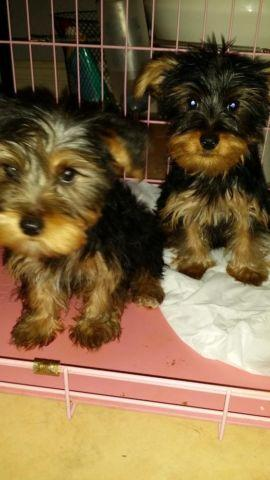 Cute Yorkie Yorkshire Terrier Puppy 12 Weeks Old For Sale In