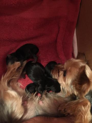 Cute Yorkshire Terrier Puppies to Rehome