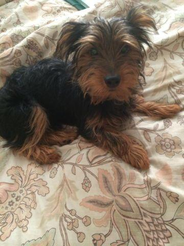 Cute Yorkshire Terrier Puppy- 7 Months Old