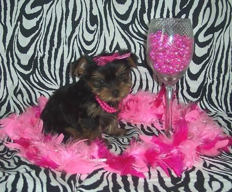 Yorkie Puppies For Sale In Paducah Kentucky   Dog Breeds Picture