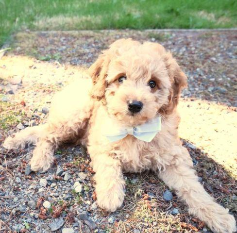Cutest Mini Goldendoodle Puppy F1b High End Breed For Sale