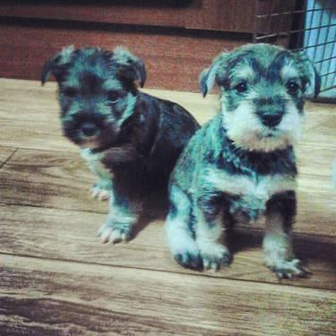 maltese for sale in sc cutest miniature schnauzer maltese puppies for sale for 728