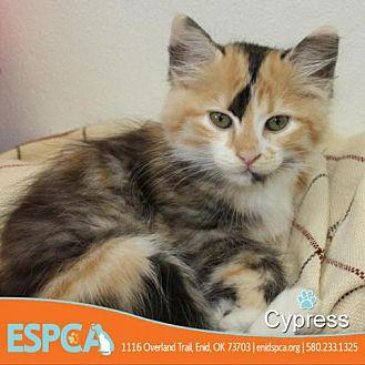 Cypress Domestic Shorthair Kitten Female