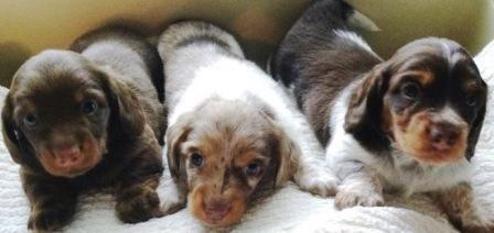 DACHSHUND AKC Puppies (mini, long-haired) for Sale in Dayton, Ohio ...